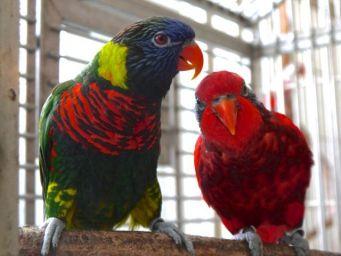 Foster Parrots - Blue-streaked Lory, Rainbow Lorikeet (1)