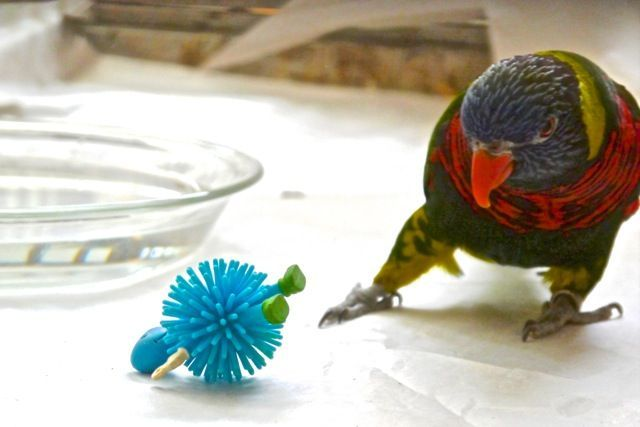 Foster Parrots - Blue-streaked Lory and toy - Sunset and Big Red will immediately investigate any new toy or enrichment item that is placed in their cage. They also LOVE to take baths!