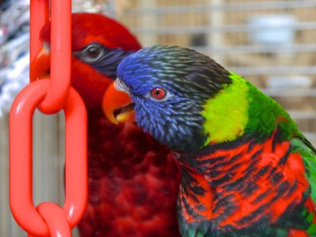 Foster Parrots - Rainbow Lorikeet, Blue-streaked Lory - These two stopped dancing and playing just long enough to snap a photo! They're always in motion!